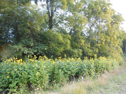 wildflowers sunflowers